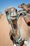 Wielbłąd w piasek diun pustyni Sahara Zdjęcie Stock