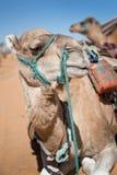 Wielbłąd w piasek diun pustyni Sahara Zdjęcia Stock