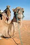 Wielbłąd w piasek diun pustyni Sahara Obraz Royalty Free