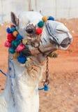 Wielbłąd w Pustyni Zdjęcia Stock