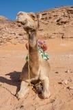 Wielbłąd w pustyni Fotografia Royalty Free