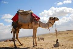 Wielbłąd w pustyni zdjęcia royalty free
