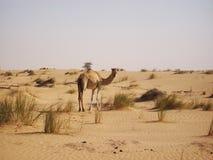 Wielbłąd w pustyni Obraz Royalty Free