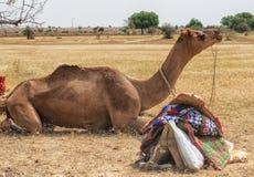 Wielbłąd w pustyni, Jaisalmer, India Obrazy Stock