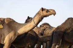 Wielbłąd w pustynnym Thar podczas Pushkar Wielbłądziego jarmarku, Rajasthan, India zdjęcie royalty free