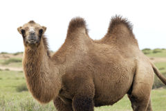 Wielbłąd w taklamakan pustyni Zdjęcia Royalty Free