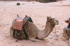 Wielbłąd w wadiego rumu, Jordania Obraz Royalty Free