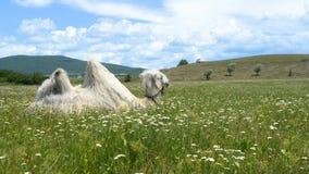 Wielbłąd w zielonej trawie z kwiatami zbiory wideo