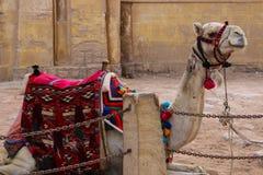 Wielbłąd z kolorowym horsecloth gizzard Egipt Obrazy Stock