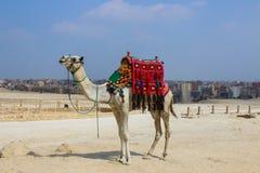 Wielbłąd z kolorowym horsecloth gizzard Egipt Zdjęcie Stock