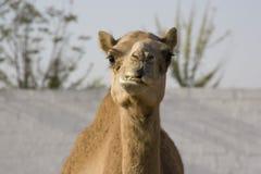 Wielbłąd z nieuszeregowanym słojem w pustyni Obrazy Royalty Free