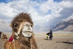 Wielbłąd z turystycznym momentem Obrazy Royalty Free