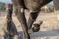 Wielbłąd z wiązaną stopą w pustynnym Thar podczas Pushkar Wielbłądziego jarmarku, Rajasthan, India fotografia royalty free