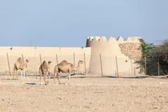 Wielbłąda gospodarstwo rolne w Katar Fotografia Royalty Free