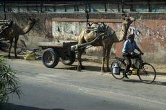 Wielbłąda & mężczyzna przewożenia mleko na ulicie w India Obraz Royalty Free
