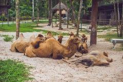 Wielbłąda odpoczynek na gospodarstwie rolnym po lunchu obraz stock