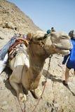 Wielbłąda odpoczywać obraz stock
