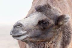 Wielbłąda profilowy portret Zdjęcia Royalty Free
