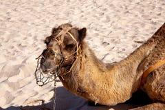 wielbłąda pustynni portreta potomstwa fotografia stock