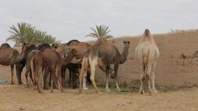 wielbłąda pustynny dromadera gospodarstwa rolnego Israel negev zbiory