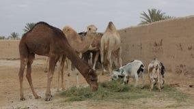 wielbłąda pustynny dromadera gospodarstwa rolnego Israel negev zbiory wideo