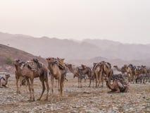 Wielbłąda rynek w regionie w północnym Etiopia Daleko Zdjęcie Stock
