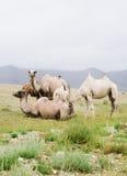 wielbłąda stado Obrazy Stock