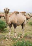 wielbłąda stado Zdjęcie Royalty Free