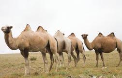 wielbłąda stado Fotografia Stock
