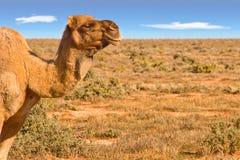 wielbłąda target372_0_ pustynny Obrazy Royalty Free