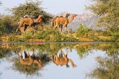 Wielbłądy Zdjęcia Royalty Free