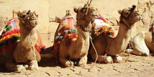 wielbłądy Obrazy Royalty Free