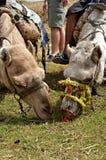 wielbłądy Fotografia Royalty Free