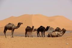 wielbłądy obrazy stock