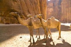 wielbłądy Zdjęcie Royalty Free