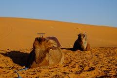 Wielbłądy Dezerterują Sahara Obrazy Royalty Free