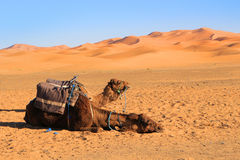wielbłądy dezerterują Sahara Zdjęcia Stock