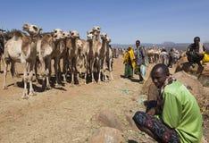 Wielbłądy dla sprzedaży przy jeden wielki bydlę rynek w rogu Afryka kraje Babile Etiopia Obrazy Stock