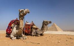 Wielbłądy Gizeh, Egipt obraz royalty free