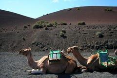 wielbłądy Lanzarote Obrazy Royalty Free