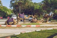 Wielbłądy, miasto Tanger, Marocco, 2013 Wiosna w Afryka Widoków wielbłądy Obraz Stock