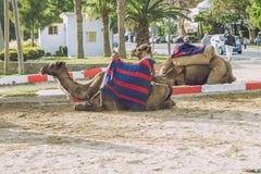 Wielbłądy, miasto Tanger, Marocco, 2013 Wiosna w Afryka Widoków wielbłądy Zdjęcia Stock