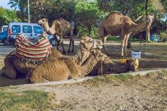 Wielbłądy, miasto Tanger, Marocco, 2013 Wiosna w Afryka Widoków wielbłądy Obrazy Royalty Free