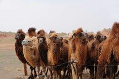 wielbłądy Mongolia Obraz Stock