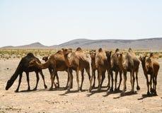 wielbłądy Morocco Sahara Obraz Stock
