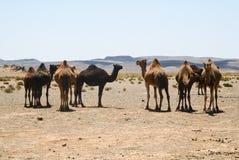 wielbłądy Morocco Sahara Obraz Royalty Free