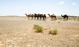wielbłądy Morocco Sahara Fotografia Royalty Free
