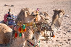 Wielbłądy na afrykanin pustyni Zdjęcie Stock