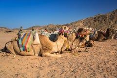 Wielbłądy na afrykanin pustyni Fotografia Royalty Free