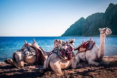 Wielbłądy na plażowych trzy basenach Dahab obraz royalty free